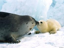 Wallrus Couple Animal HD Wallpaper Walrus Couple Animal HD Wallpaper 1085