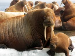 Walrus Wallpaper 1215