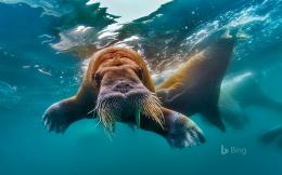 Walrus Underwater HD WallpaperiHD Wallpapers 1959