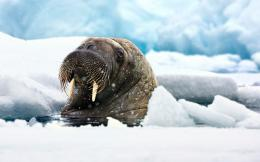 Walrus wallpaper1359758 351
