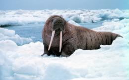 walrus wallpaper 1093