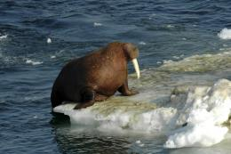 Free Cool Wallpapers: walrus wallpapers 1578