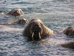 Walrus Water Brown Animal hd wallpaper #1188067 676