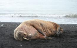 Walrus on the shore wallpaper #31900 1020