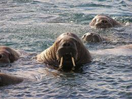 Walrus wallpaper 1553