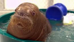 Download Wallpaper 2048x1152 walrus, baby, bathing HD HD Background 529