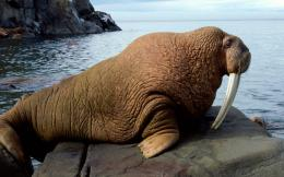 AnimalWalrus Wallpaper 197