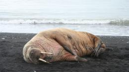 Walrus on the shore wallpaper #31900 160