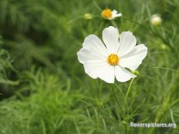White Cosmos Wallpapers | Ultimate Wallpaper 456
