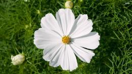 White cosmos wallpaperFlower wallpapers#47934 475