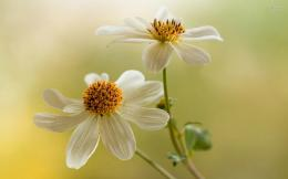 Pretty white cosmos flowers nature HD Wallpaper 1282