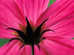 Cosmos Flower Wallpapers | HD Wallpapers 524