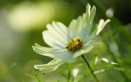 download white cosmos flower wallpaper tags flower nature cosmos white 893