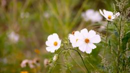 White Cosmos Flowers 1131