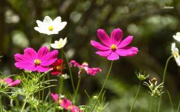 Pink and white cosmos wallpaperFlower wallpapers#11642 720
