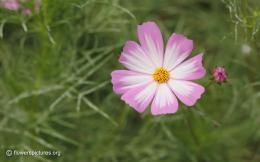Pink and white cosmos wallpaper | Wallpaper Experts 1390