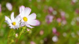 White Cosmos Flower Wallpaperwallpaper,wallpapers,free wallpaper 812