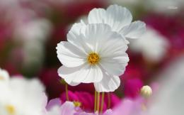 Immaculate white Cosmos wallpaper 1623