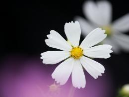 Little white Cosmos wallpaper 436