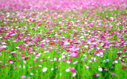 Cosmos flowers field Wallpapers Pictures Photos Images 1875