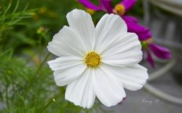 Pin White Cosmos Flowers Hd Desktop Wallpaper High Definition on 1005