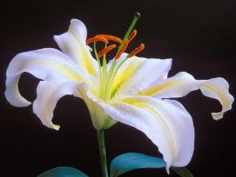 White Lily Flower Wallpaper image gallery 623