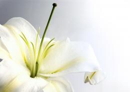 Wallpapers ⇒ Flowers ⇒ White Lily Flower 1360