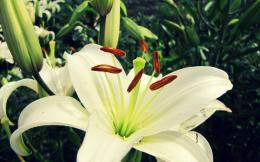 White Lily Flower Wallpaper « Wallpaperz CO 388