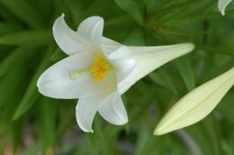 white Lily Flowers18467The Wondrous Pics 1734