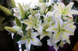 Download Wallpaper lily, flowers, white, flower, buds HD Background 920
