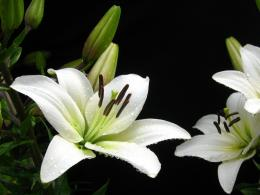 White Lily Flower 1600x1067px #918571 612