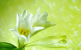 lily, desktop, white, background, valley, flowers, wallpaper 1220