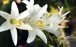 White Lily Flowers Wallpaper 1563 2560 x 1600WallpaperLayer com 822