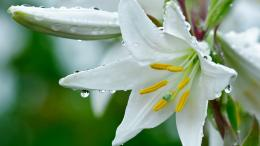 White Lily Flower Wallpaper 597