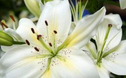 white lilies flowers wallpaper white lilies flowers wallpaper white 1323
