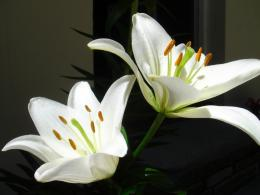 White Lily Flower Wallpaper image gallery 658