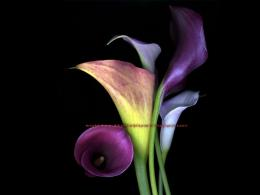 Beautiful Wallpapers: calla lily flowers wallpaper 375