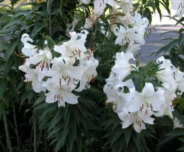 flowers for flower lovers : lily flowers 1170