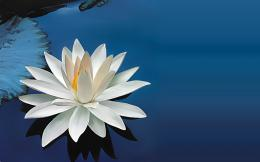 white water lily flower lake wallpaper 1920x1200Magic4Walls com 1388