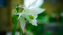 White Lily Flower Wallpaper 662
