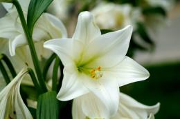 File Name: #918571 White Lily Flower Wall by Robie Delaney on 653