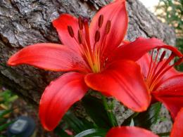 red lilies flowers wallpaper red lilies flowers wallpaper red lilies 1472