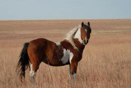 Cute Funny Animalz: American Mustang Horse New Best HD Wallpapers 2013 791
