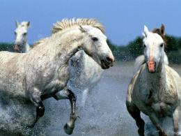 HD Animals Wallpapers: Wild Horses Running Wallpapers 1490