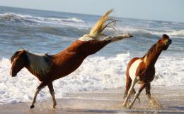 Assateaque horses beach ponys kicks pinto HD Wallpaper 821