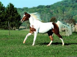Pinto Horse Screensavers 1 2 by Horse Screensavers: Free horse 1092