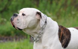 Wallpapers Dogs Wallpapers American Bulldog Watch Wallpaper 1962