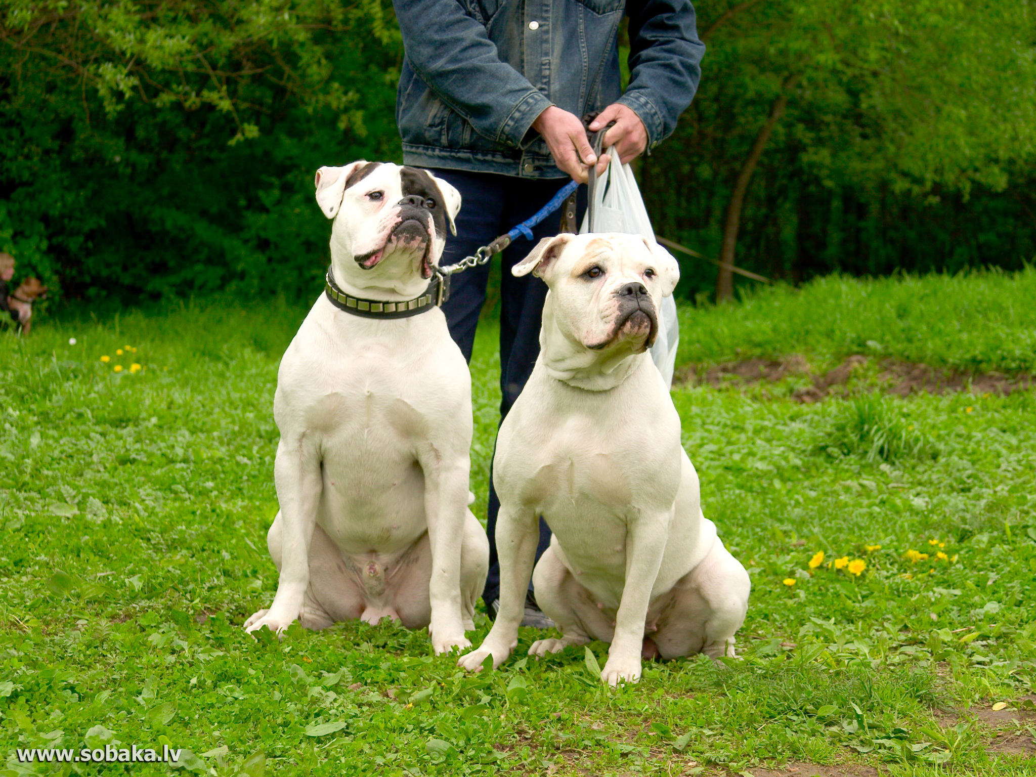 Two beautiful American Bulldog wallpapers and imageswallpapers 574