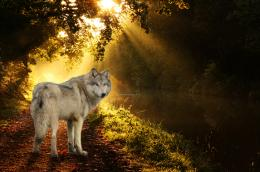 Autumn harmony forest light wolf abstract HD Wallpaper 623