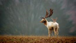 download deer and its child wallpaper in animals wallpapers with all 379